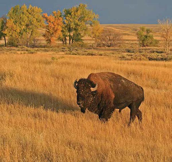 Buffalo Watch
